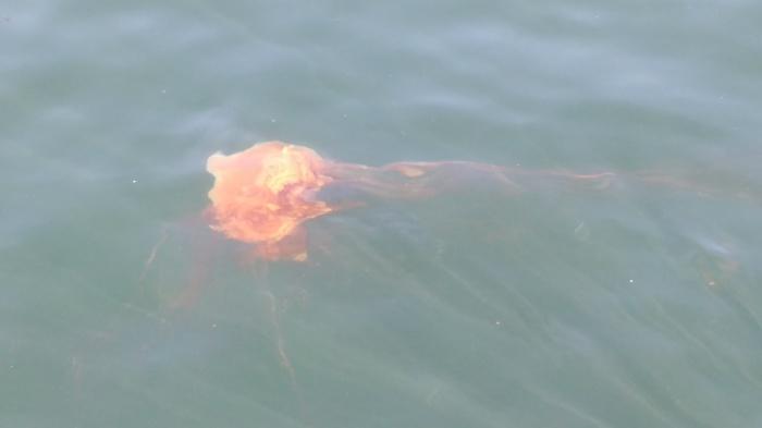 Some Jellyfish. Photo Ray Penson