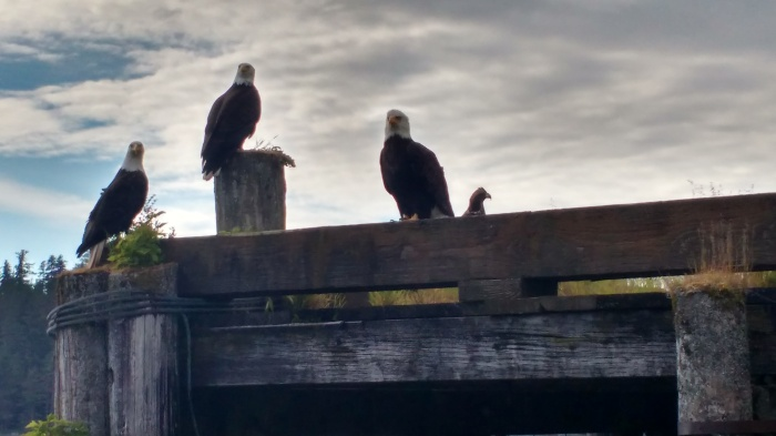 Eagles on the dock in Craig. Ray Penson