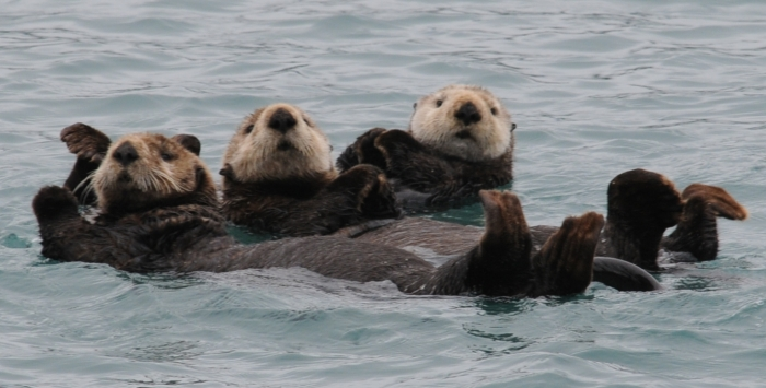 Sea Otters banding together in Prince William Sound near Whittier, Alaska Image credit. secure.defenders.org