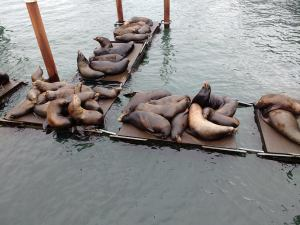 Sealions hanging out in Newport Oregon. Photo Ray Penson
