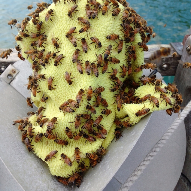 Thirst Bees in Lono Harbour. Photo Ray Penson jpg