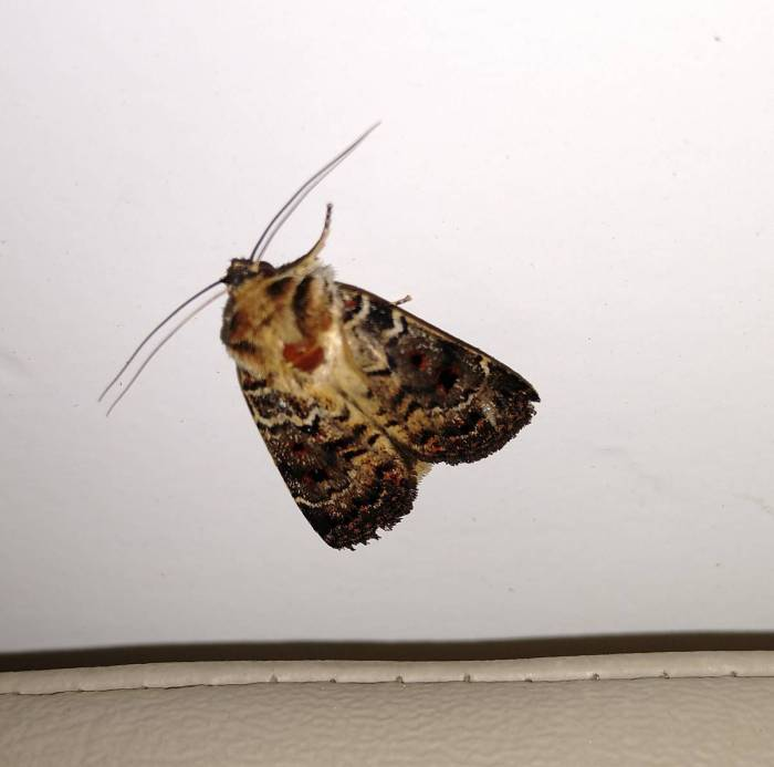 One of the invading moths