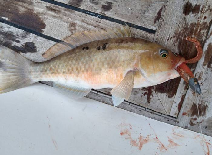 Spotty, rapacious nuisance fish Photo Ray Penson