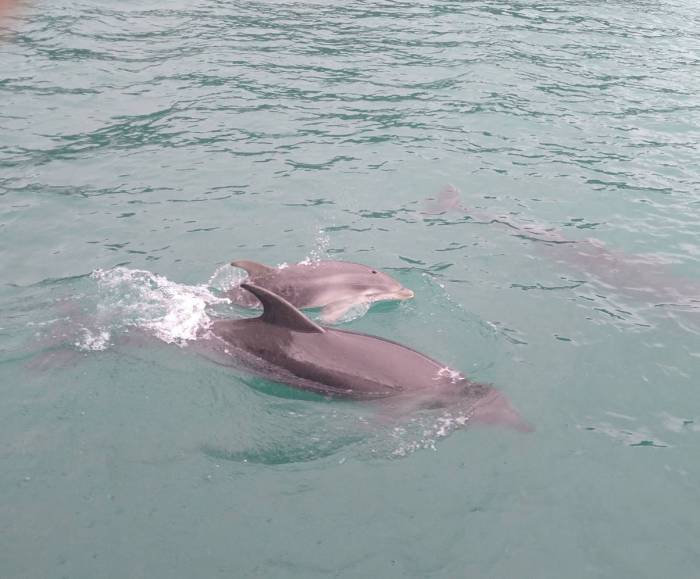 Dolphins welcome into Whangaroa Harbour. Photo Ray Penson