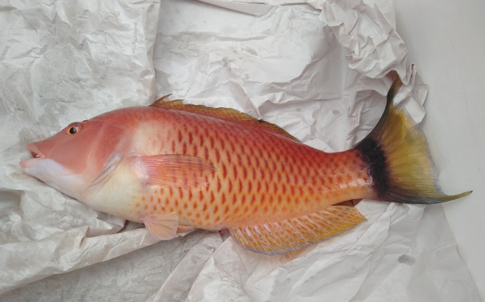 My first Pigfish. Photo Ngozi Penson