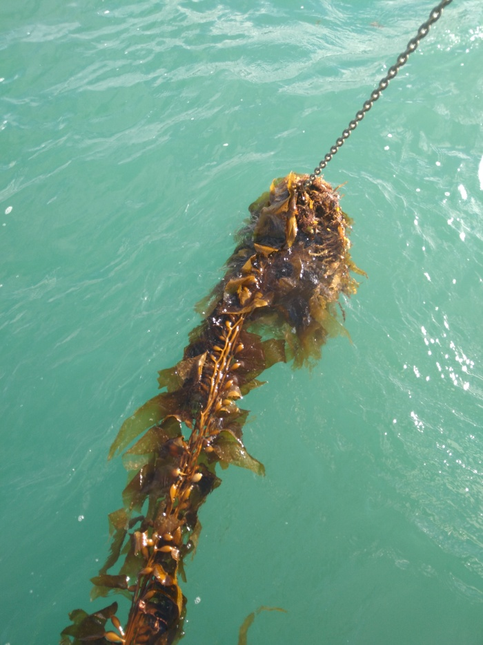 Weed on Anchor Chain. Photo Ray Penson